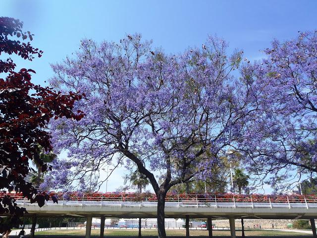 jacaranda floreados en el turia